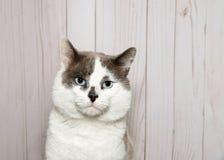 可爱的蓝眼睛的白色和灰色虎斑猫画象 免版税库存照片