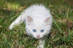 可爱的蓝眼睛高关键小猫白色 库存照片