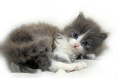 可爱的蓬松小猫 免版税库存图片