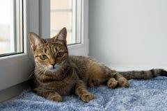 可爱的虎斑猫特写镜头在毯子放置近对窗口并且调查照相机 免版税库存图片