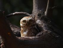 可爱的被察觉的猫头鹰之子放松对此树凹陷 掠食性动物,头 免版税库存照片
