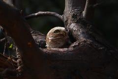 可爱的被察觉的猫头鹰之子放松对此树凹陷 掠食性动物,头 库存图片