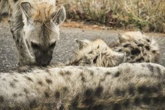 可爱的被察觉的鬣狗当幼童军与母亲,克留格尔国家公园,南非 库存图片