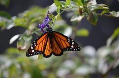 可爱的观点的一只总督蝴蝶本质上 库存照片