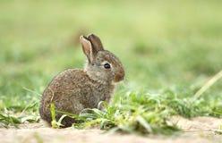 可爱的野生兔子 库存图片