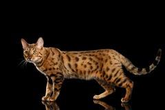 可爱的金孟加拉母猫,走在被隔绝的黑背景 库存图片