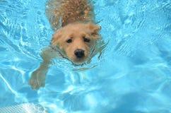可爱的金毛猎犬小狗游泳 免版税库存图片
