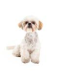 可爱的长卷毛狗和马尔他混合品种狗开会 免版税库存照片