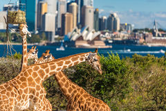 可爱的长颈鹿有悉尼歌剧院和悉尼CBD视图 库存照片