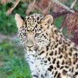 可爱的阿穆尔河豹子Cub顶头射击  免版税库存图片
