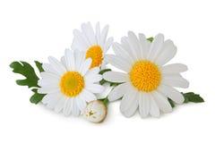 可爱的雏菊延命菊被隔绝,包括裁减路线,不用树荫 库存图片