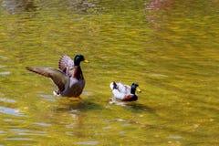 可爱的鸭子游泳 Nature湖背景 库存图片