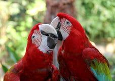 可爱的鹦鹉猩红色金刚鹦鹉。 已婚夫妇。 库存照片