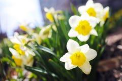 可爱的黄水仙在一晴朗的3月天 免版税库存图片