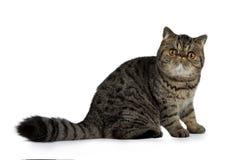 可爱的黑平纹异乎寻常的Shorthair猫小猫,隔绝在白色背景 库存照片