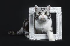 可爱的黑银blotched与嫉妒的幼小英国shorthair猫跨步在一个白色照片框架中和看入的 免版税图库摄影