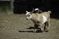 可爱的13天老小山羊 库存图片