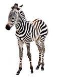 可爱的婴孩常设斑马 免版税库存图片
