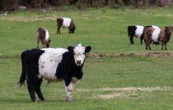 可爱的年轻家畜在动物农场新西兰中威胁 免版税库存照片