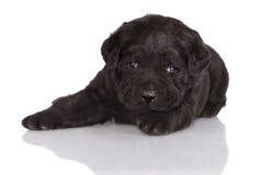 可爱的黑拉布拉多猎犬小狗 免版税库存图片