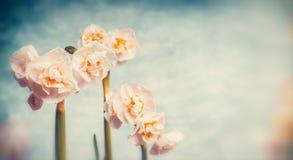 可爱的黄水仙春天在天空背景开花,减速火箭 库存照片