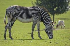 可爱的Grevy ` s斑马马属吃草在豪华的绿色清洁的Grevyi 免版税图库摄影