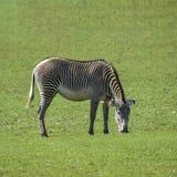 可爱的Grevy ` s斑马马属吃草在豪华的绿色清洁的Grevyi 免版税库存照片