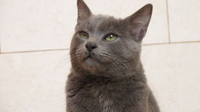 可爱的korat猫 免版税库存图片