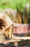 可爱的Meerkat的照片 库存照片