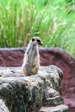 可爱的meerkat surikate 免版税库存图片
