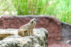 可爱的meerkat surikate 免版税库存照片