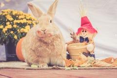 可爱的Rufus上色了在秋天装饰中的兔子立场 图库摄影