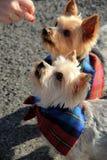 可爱的Yorkie狗,佩带的班丹纳花绸 免版税库存照片