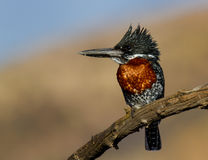 可爱背景巨型的翠鸟 免版税库存图片