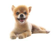 可爱行动pomeranian小狗隔绝了白色背景 免版税图库摄影