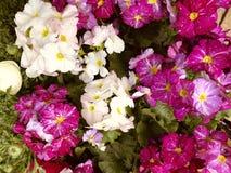 可爱,五颜六色的开花的报春花 库存照片