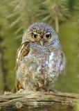 可爱,微小的矮子猫头鹰观看! 免版税库存图片