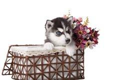 可爱黑白与蓝眼睛爱斯基摩小狗 库存照片