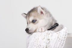 可爱黑白与蓝眼睛爱斯基摩小狗 免版税库存照片