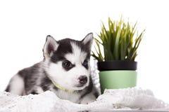 可爱黑白与蓝眼睛爱斯基摩小狗 库存图片
