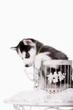 可爱黑白与蓝眼睛爱斯基摩小狗 免版税库存图片