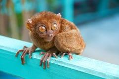 可爱tarsier 免版税库存图片