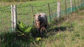 可疑看照相机和吃草在草的可爱的白羊,在土气和弯曲的链篱芭旁边 股票视频