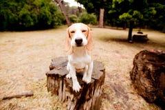 可笑小猎犬 免版税库存图片