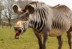可笑的马属grevy grevyi照片s斑马 图库摄影