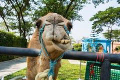 可笑的骆驼 免版税库存照片