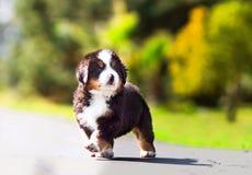 可能的小的小狗 免版税图库摄影