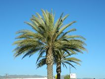可西嘉岛海岛地中海掌上型计算机摄影被采取的结构树 免版税库存图片