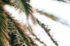 可西嘉岛海岛地中海掌上型计算机摄影被采取的结构树 日期树在黑山 库存照片