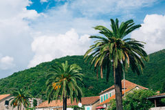 可西嘉岛海岛地中海掌上型计算机摄影被采取的结构树 日期树在黑山 库存图片